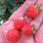Erdbeeren im Herbst ernten