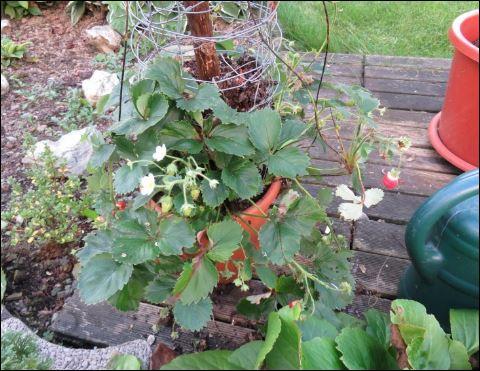 Die Klettererdbeere Hummi im Blumentopf.